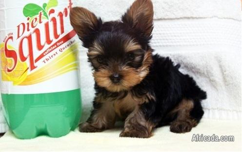 Perfect tea cup yorkie puppies for sale