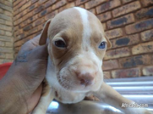 Pure Bred Pink Nose Pitbull Puppies for sale