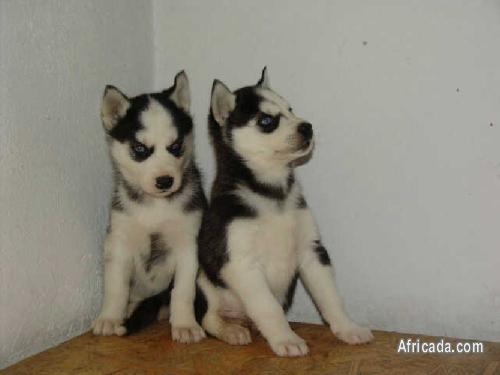 Registered Siberian Husky Puppies | Dogs / Puppies for ...