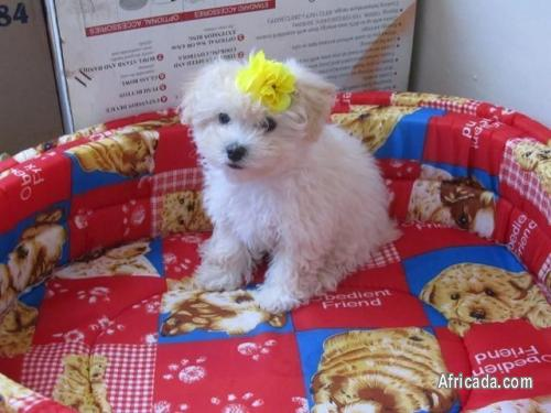 Maltese Puppies, Small type very small, Small size