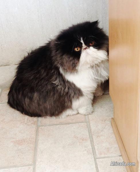 Teacup persian kittens for sale gauteng