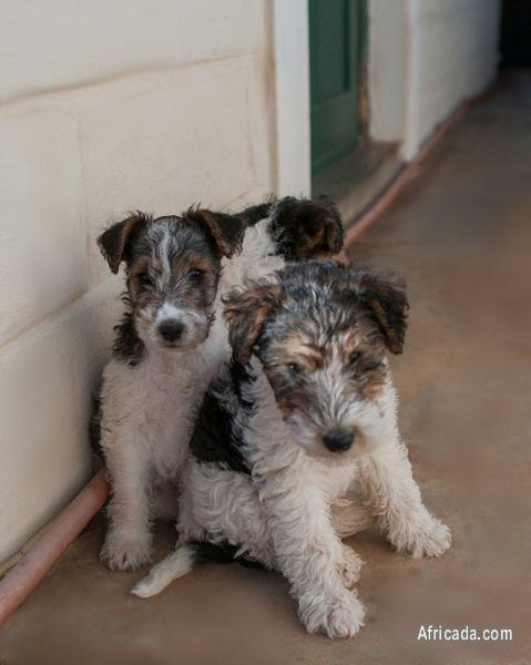 Wire Haired Fox Terriers Dogs Puppies For Sale In Calvinia
