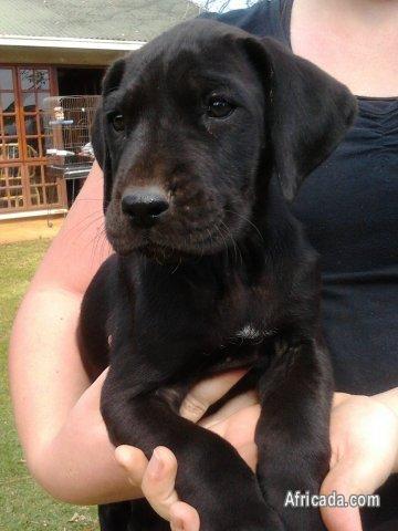 Great Dane puppies for sale - Nelspruit, Mpumalanga - Photo #5