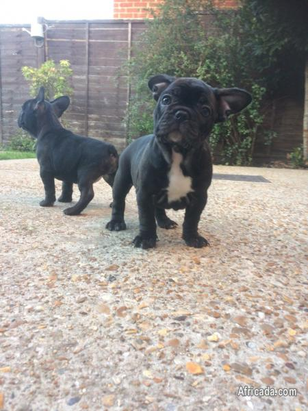 Kc Registered French Bulldog Puppies | Dogs / Puppies for sale in  Bloemfontein, Free State | Africada.com Mobile - 86954