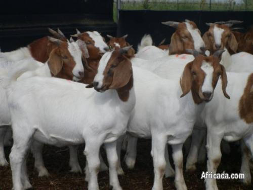 Beautiful And Healthy Boer Goats For Sale Livestock