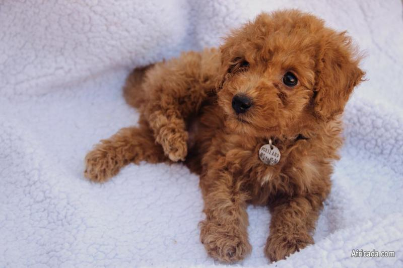 Gorgeous Maltipoo puppies looking for new homes   Dogs ...