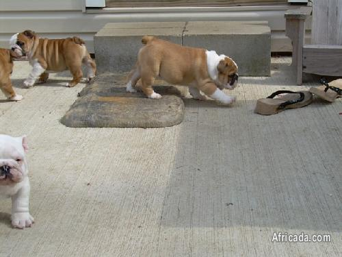 Gorgeous Bulldog puppies For Adoption | Dogs / Puppies for