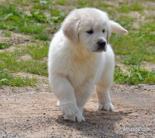 Picture of Outstanding Female Golden Retriever Puppies For Sale