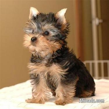 LOVELY TINY TEA CUP YORKIE PUPPIES FOR SALE | Dogs ...